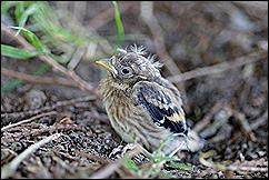 goldfinch-fledgling_1274901090