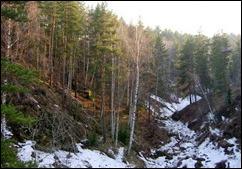 birch pine forest